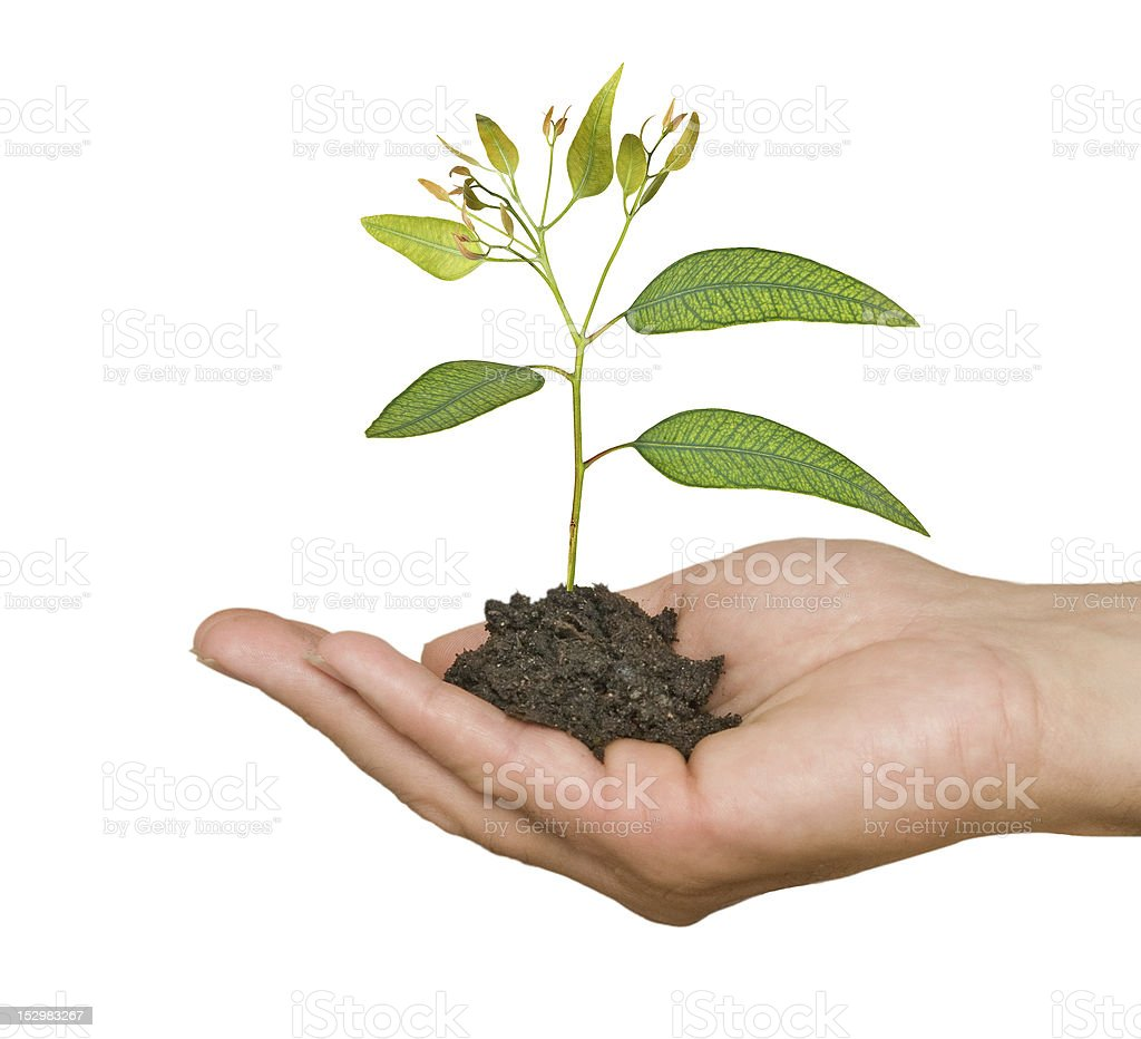 sapling in palm as a symbol of nature protection stock photo