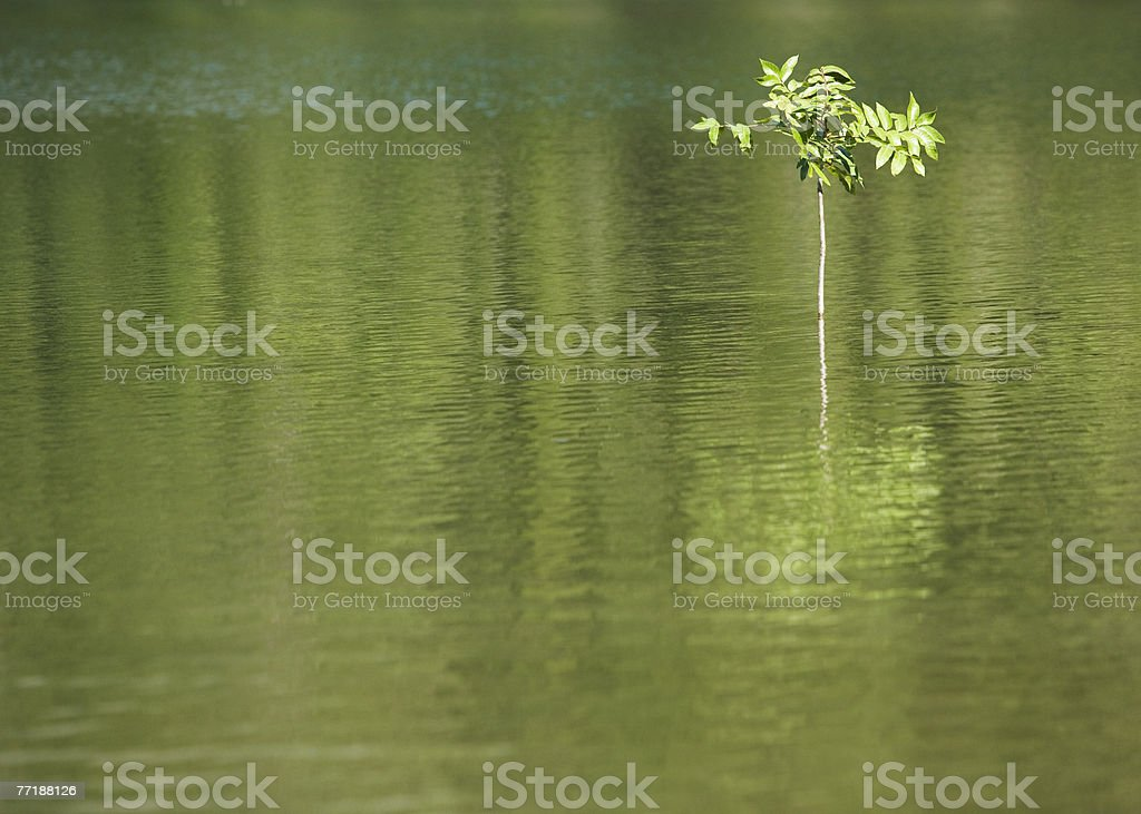 A sapling in the water royalty-free stock photo