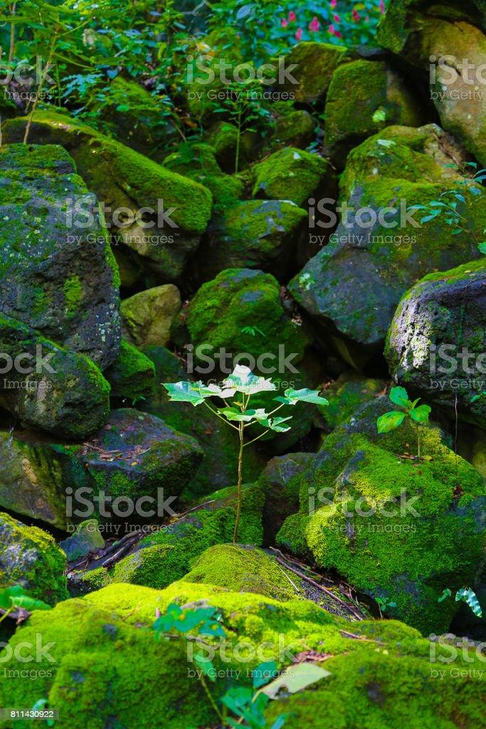 Sapling in Waimea Valley stock photo