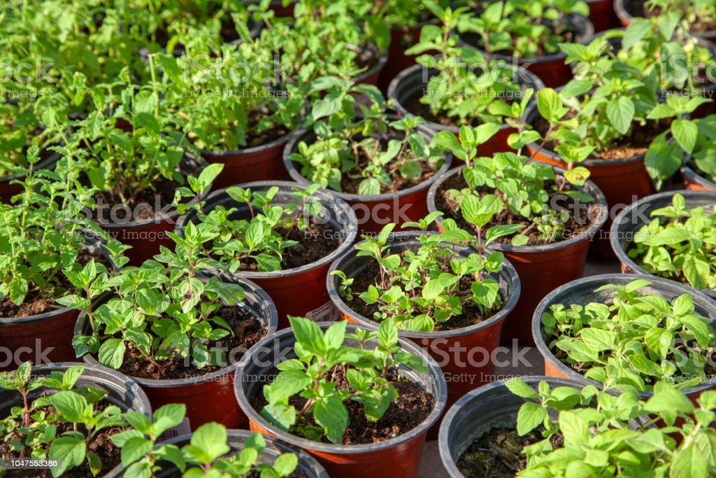 Saplings In Garden Pots In Plant Nursery Shop Of Plants ...
