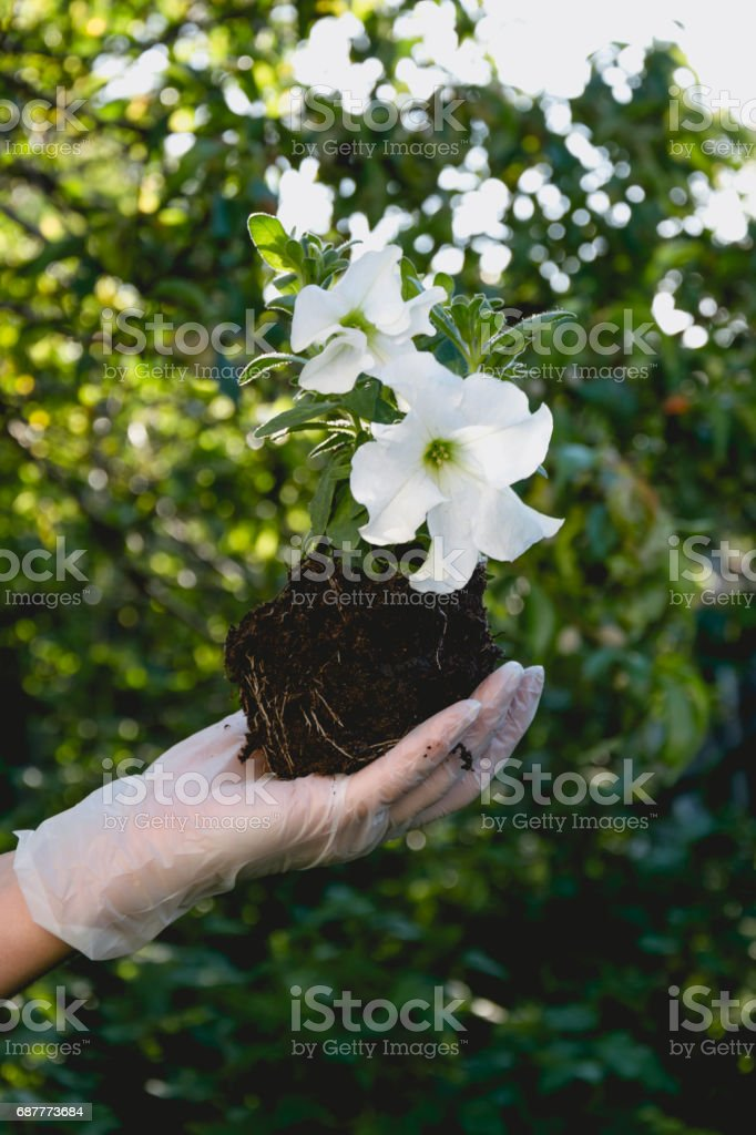 Scenic colorful petunia flowers. Landscaping the garden. Planting of...