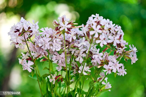 Saponaria officinalis (Soapwort) medicinal plant with pink flowers on a green bokeh background.