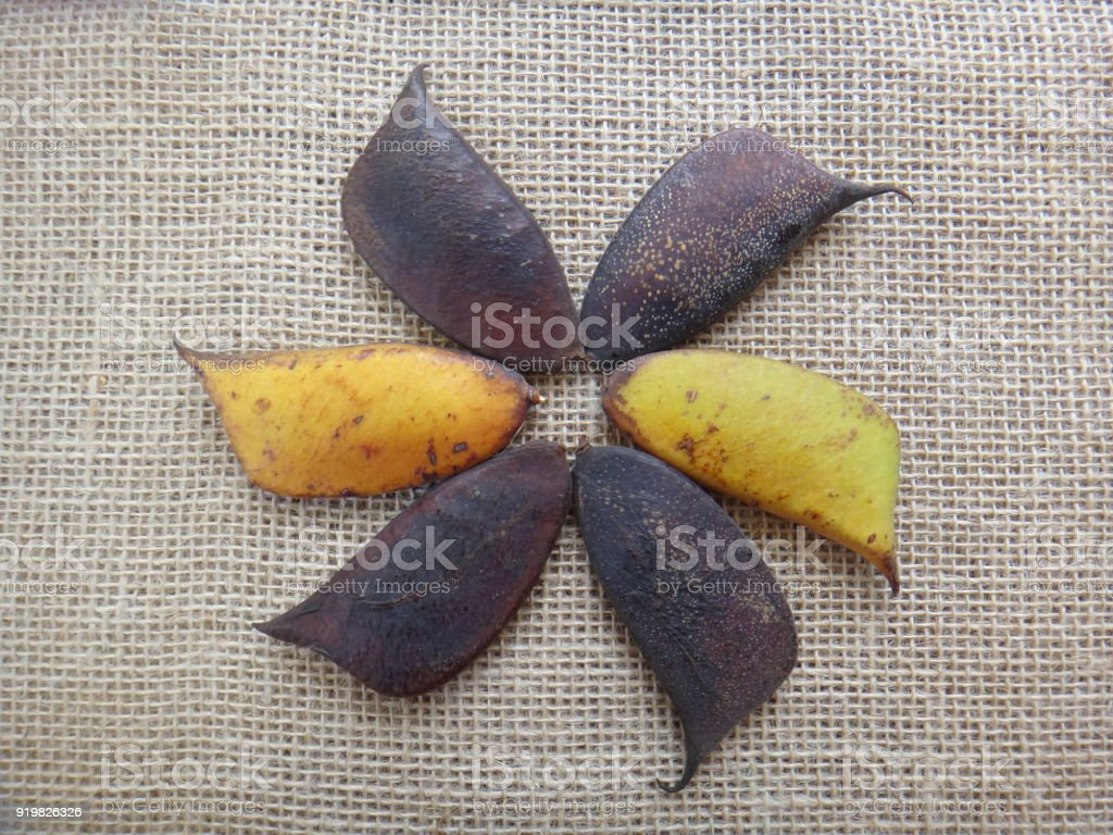 Sappanwood pods unripe and dry - Jute background stock photo