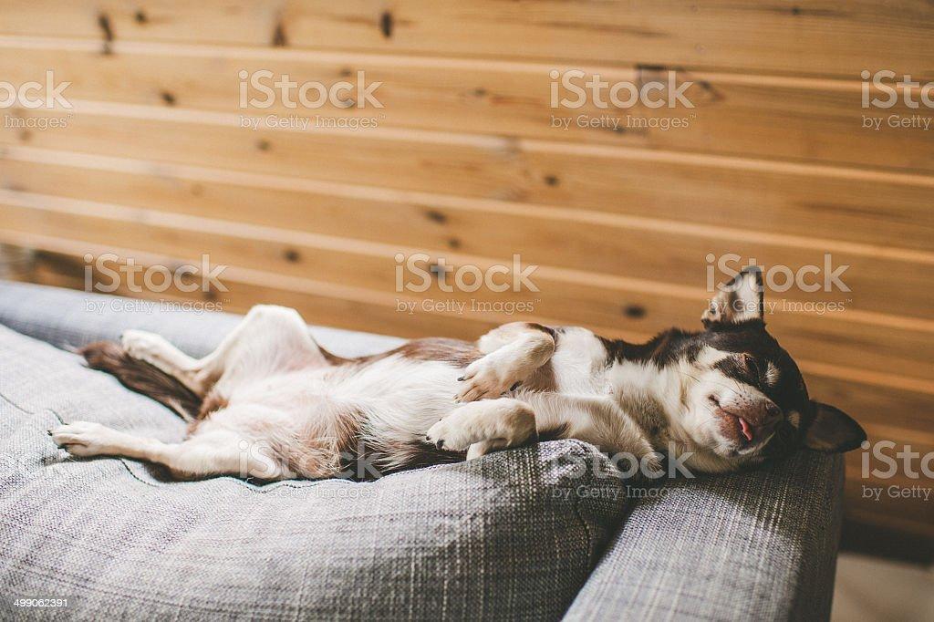 Sara the chihuahua lying in the sofa stock photo