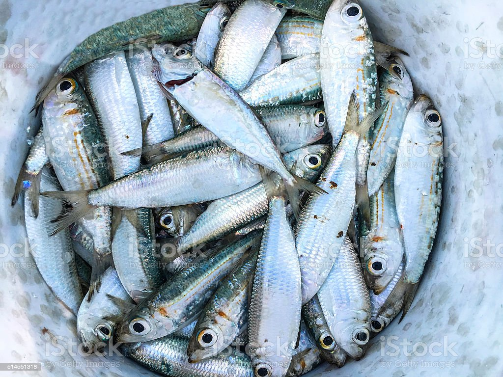Sardine bucket stock photo