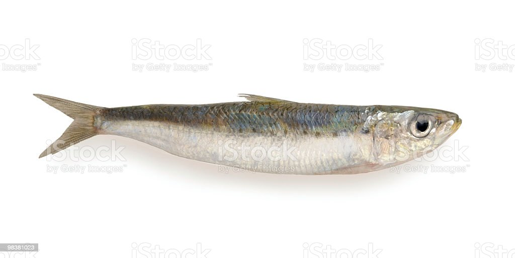 Sardine royalty-free stock photo