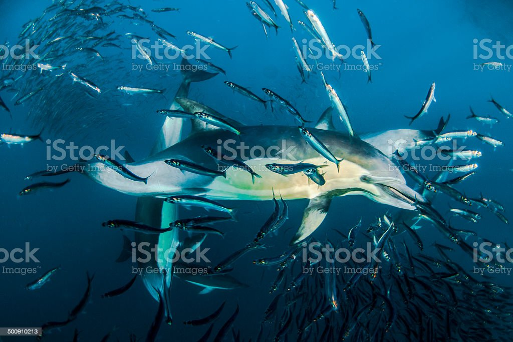 Sardine Run A Common dolphin in South Africa Aggregation Stage Stock Photo