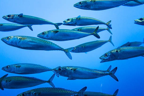 Sardines A school of sardines at Monterey Bay Aquarium anchovy stock pictures, royalty-free photos & images
