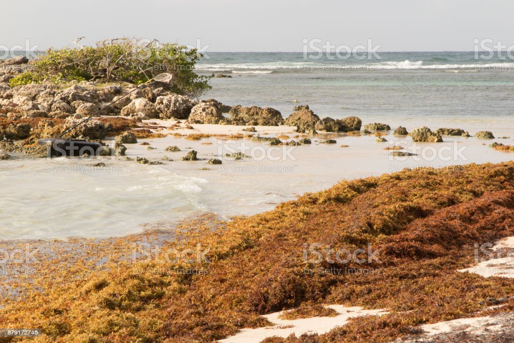 Sargasso Seaweed In The Caribbean Beach Cleaning Stock Photo
