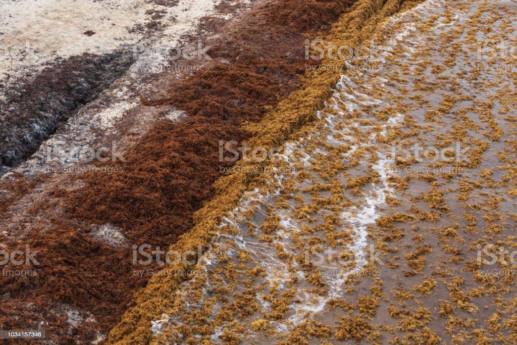 Sargassum algae covers the popular vacation beach of Playa Del Carmen...