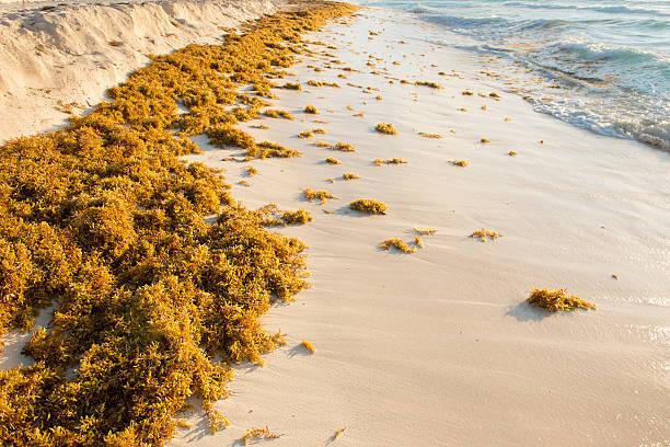 Sargassum stock photo