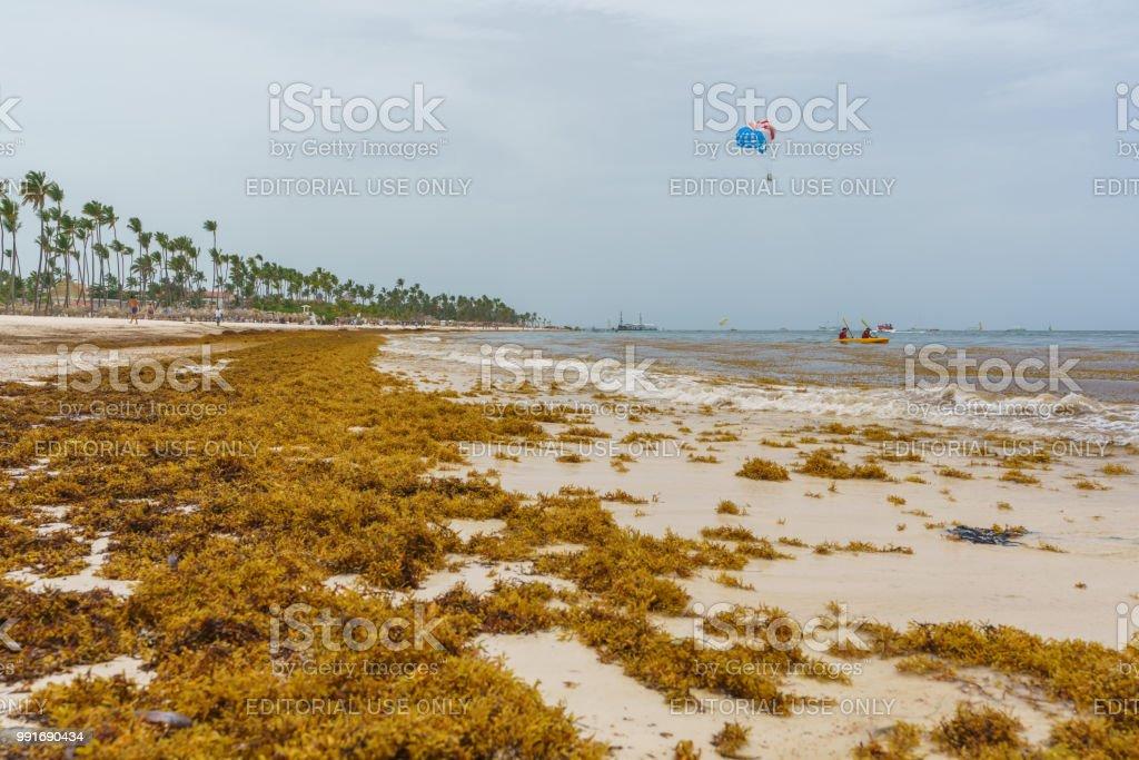 Foto de Algas De Sargaço Na Praia De Bavaro Punta Cana O