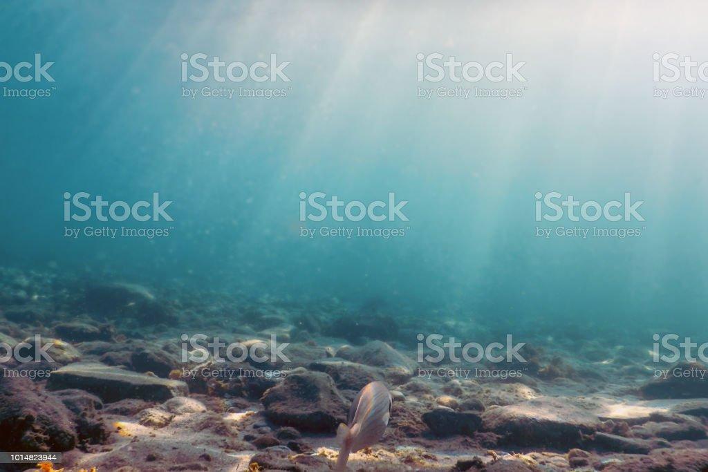 Sarpa salpa, swimming underwater with Sunburst stock photo