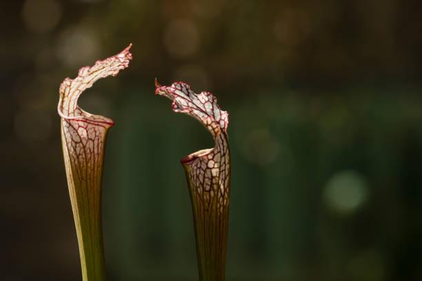 Hojas de Sarracenia las plantas insectívoras. - foto de stock