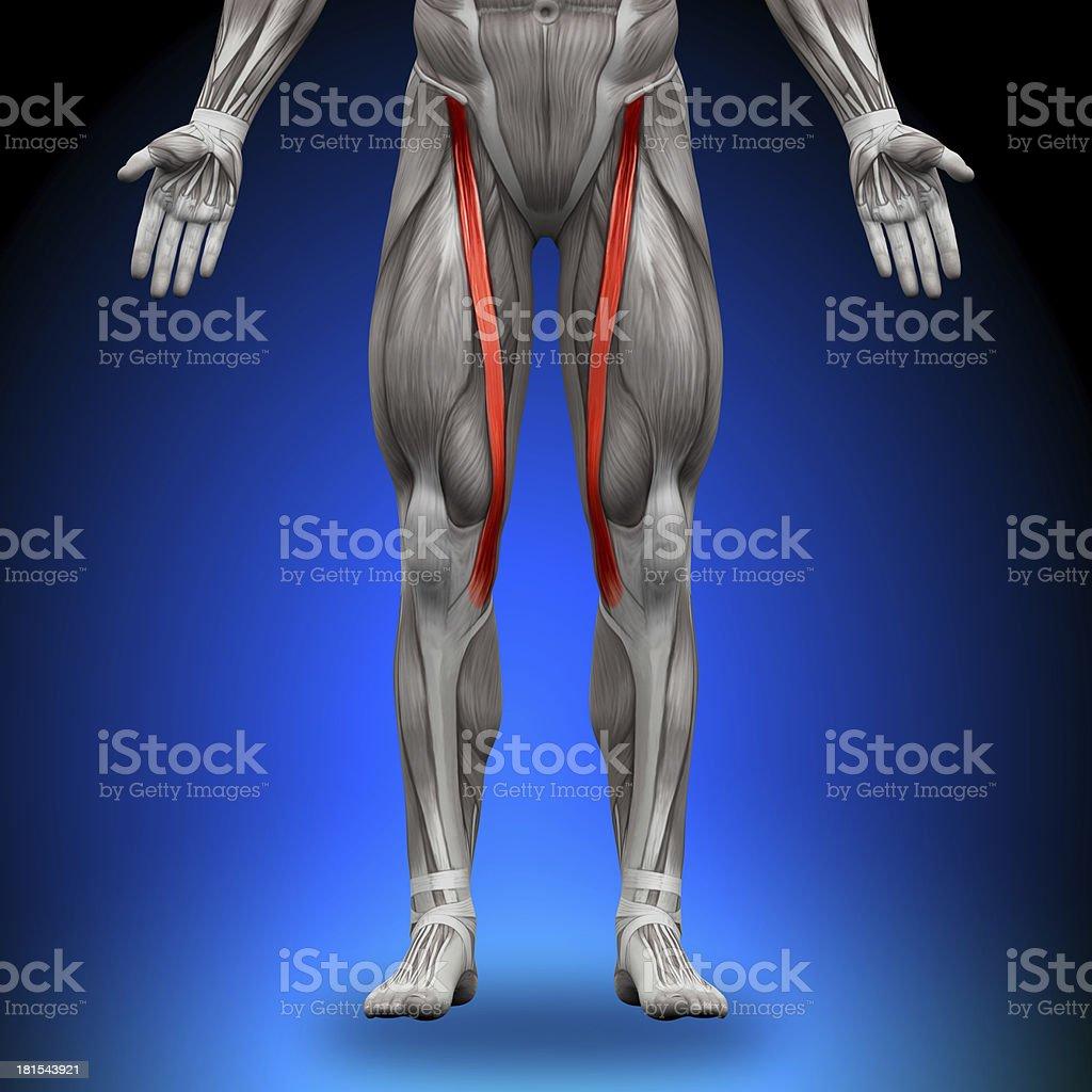 Schneidermuskelanatomie Muskeln Stock-Fotografie und mehr Bilder von ...