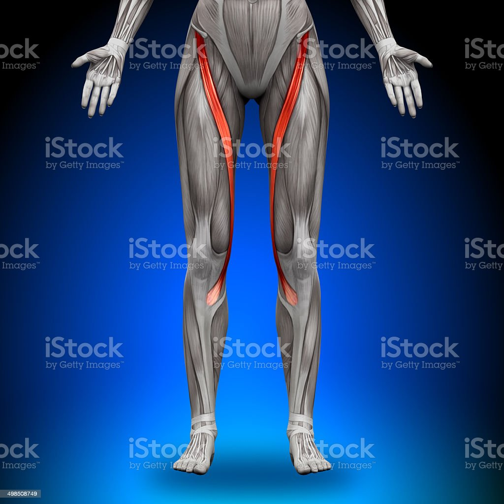 Sartorius - Female Anatomy Muscles stock photo
