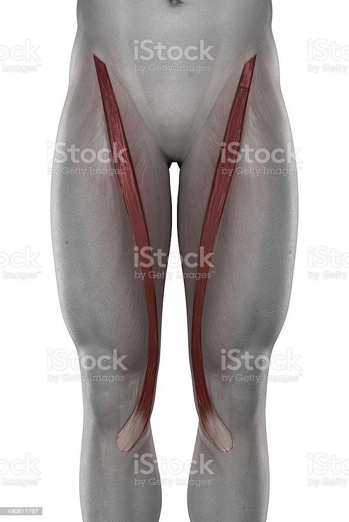 Sartorius male muscles anatomy anterior view isolated stock photo