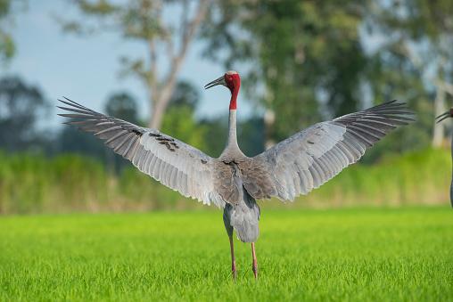 Sarus Crane Bigger Birds Are Rare Stock Photo - Download Image Now