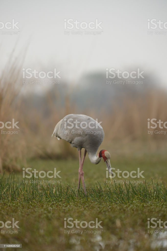 Sarus Crane Busy Feeding At Bharatpur Bird