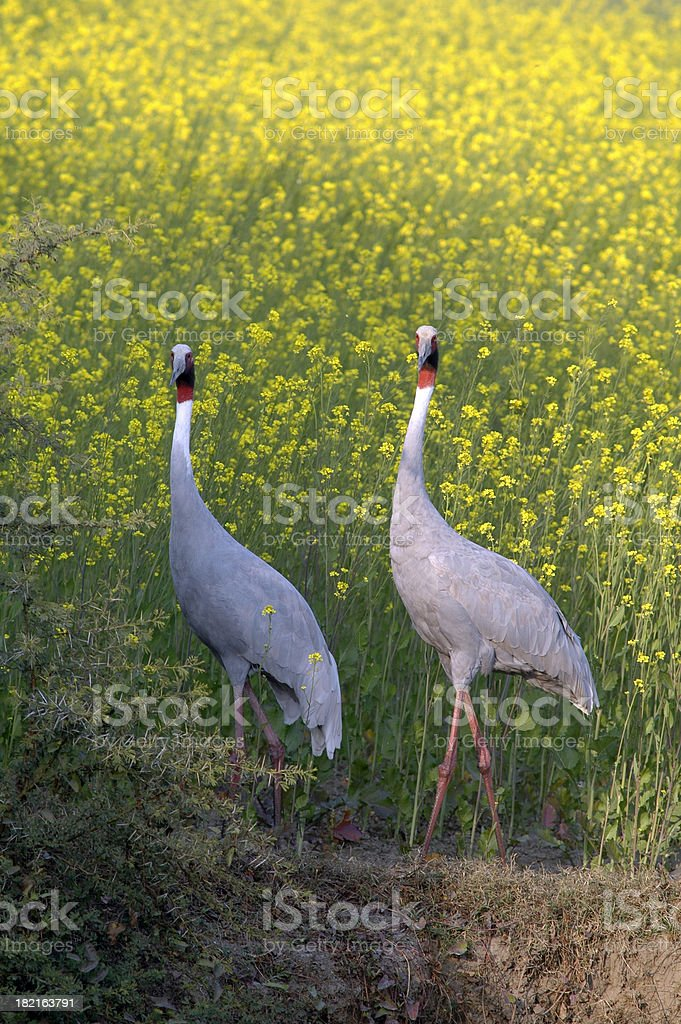 Sarus Crane Pair stock photo