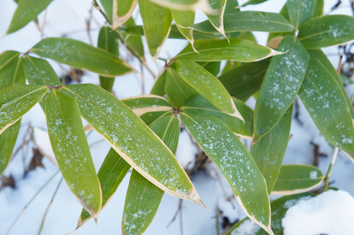 Sasa kurilensis or bamboo green plant under snow