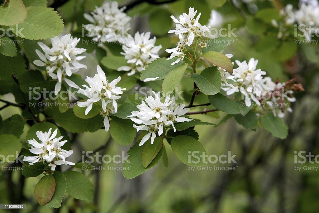 Saskatoon berry (Amelanchier alnifolia) blossoms. stock photo