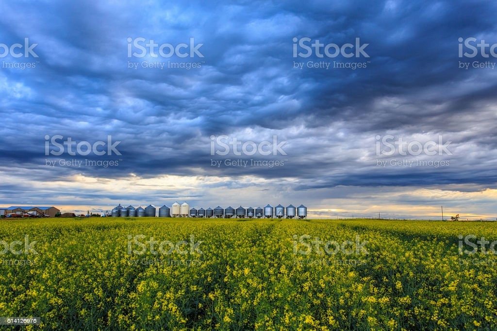 Saskatoon Canola Field stock photo