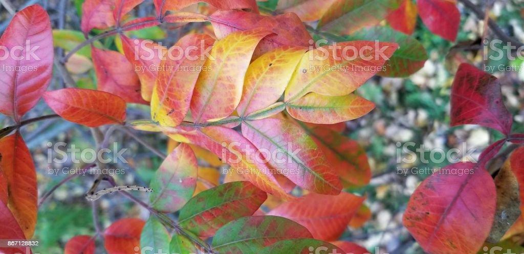 Sassafras fall colors stock photo