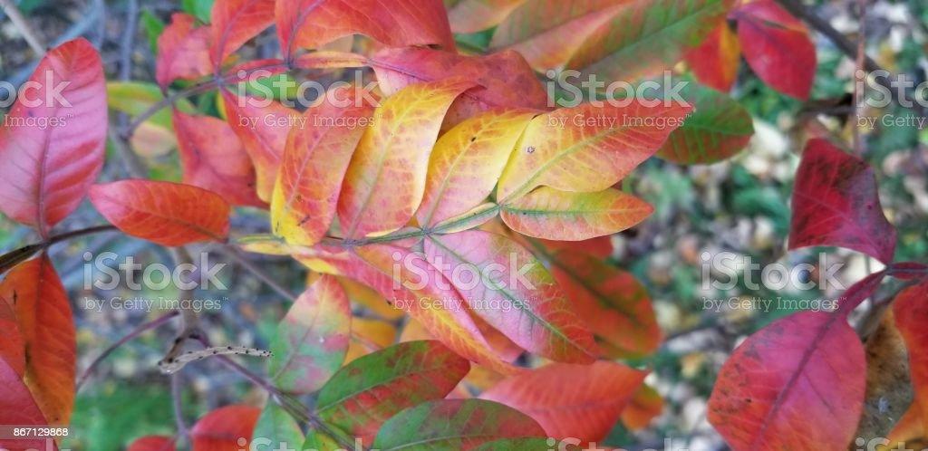 Sassafras in autumn stock photo