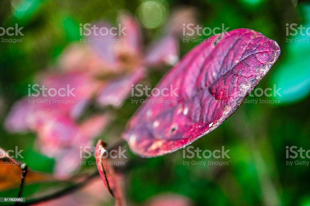 Sassafras leaf in autumn stock photo