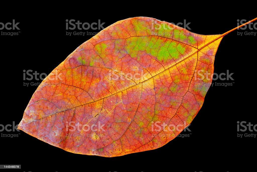 Sassafras leaf stock photo