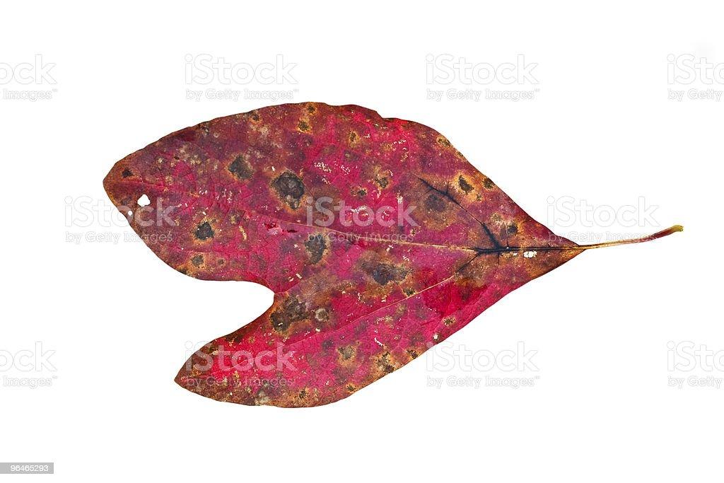Sassafras Leaf royalty-free stock photo