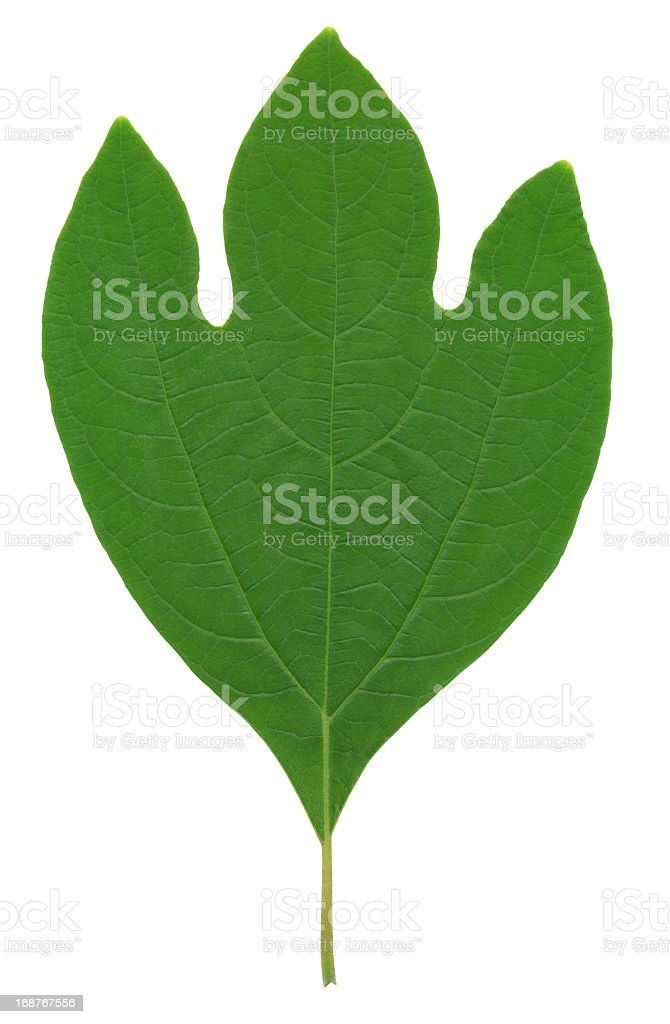 Sassafras Leaf XXL stock photo