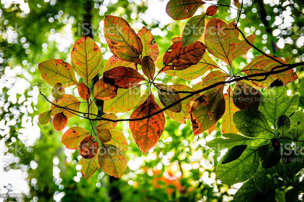 Sassafras leaves in autumn stock photo