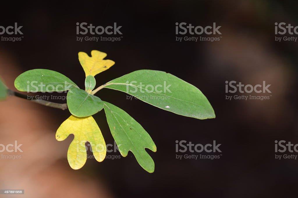 sassafras leaves stock photo