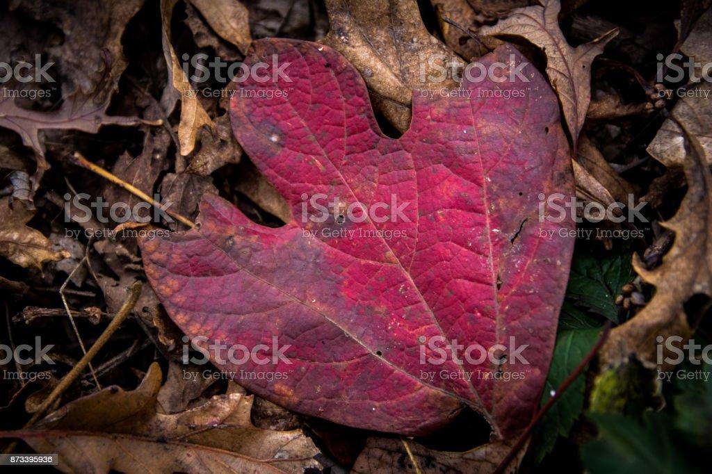 Sassafrass Leaf Fall stock photo