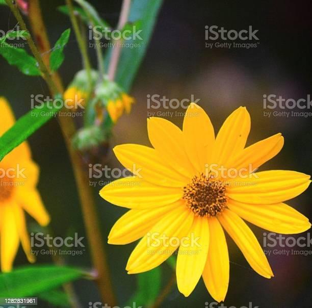 Photo of Sassy Sunflower