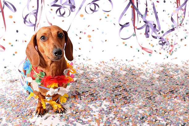 Sat dachshund at Carnival party stock photo