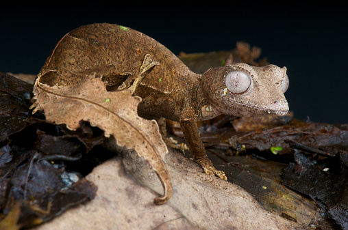 The Satanic leaf-tailed gecko is a spectacular, camouflaged, lizard species endemic to the last remaining highland rain forests of Madagascar.