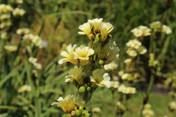 Satin flower - Sisyrinchium Striatum stock photo