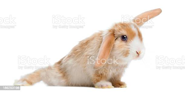 Satin mini lop rabbit in funny position isolated on white picture id186253198?b=1&k=6&m=186253198&s=612x612&h=ekwzu0qwnzqijnq3mf3consm9ksbwayrhpjfsbr3by8=