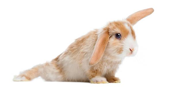 satin mini lop kaninchen in lustiger position, isoliert auf weiss - gedehnte ohren stock-fotos und bilder