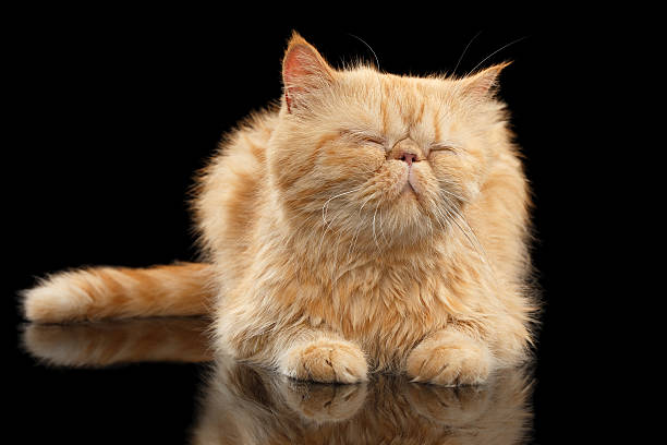 Satisfied  Exotic ginger cat Lying on Black mirror stock photo