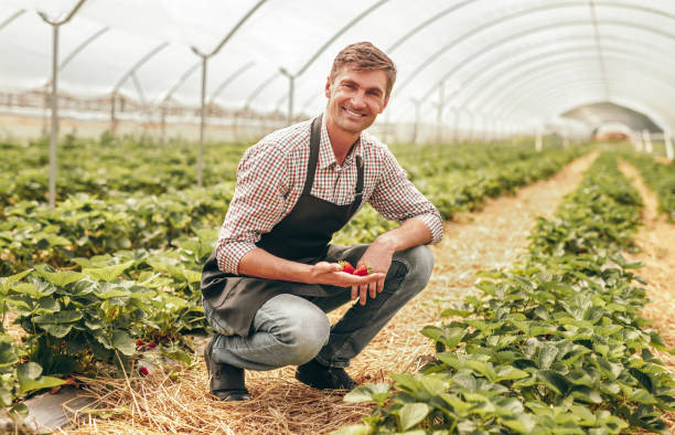 Satisfied farmer showing strawberry in greenhouse stock photo
