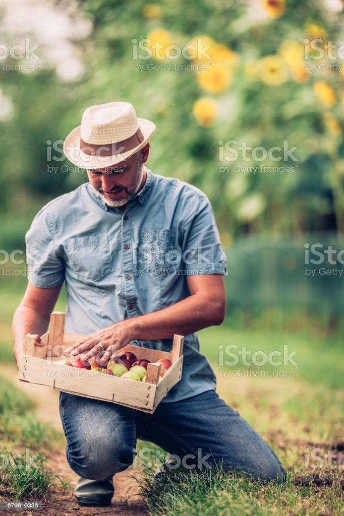 Satisfied Fruit Grower Holding A Crate Of Apple stock photo