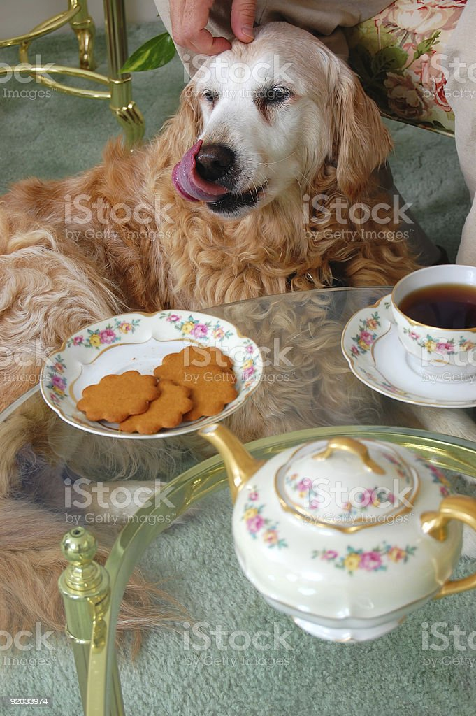 Satisfied Golden Retriever at Tea Time royalty-free stock photo