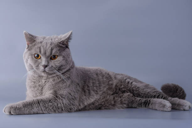 satisfied grey british short hair cat lying down looking away isolated on a purple background stock photo