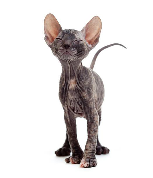 Satisfied hairless sphynx kitten picture id136495924?b=1&k=6&m=136495924&s=612x612&w=0&h=eith8amqpusdnay7rlmdp5dllqzb38riavugfecipli=
