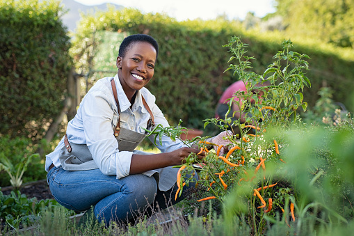 istock Satisfied woman working at vegetable garden 1153409243