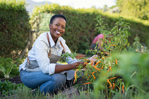 Satisfied woman working at vegetable garden Portrait of mature woman picking vegetable from backyard garden. Cheerful black woman taking care of her plants in vegetable garden while looking at camera. Proud african american farmer harvesting vegetables in a basket. gardening stock pictures, royalty-free photos & images